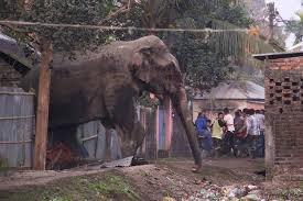 Elephant entering house in India